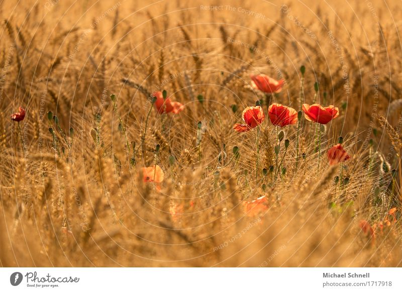 Nature Plant Summer Beautiful Flower Red Environment Blossom Healthy Happy Fresh Gold Poppy