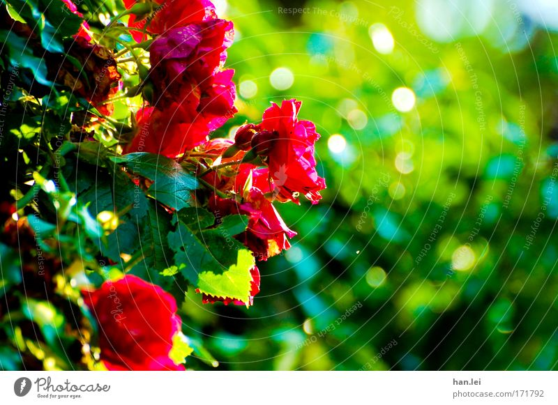 Green Beautiful Red Plant Summer Flower Joy Animal Spring Moody Park Contentment Elegant Happiness Romance Rose