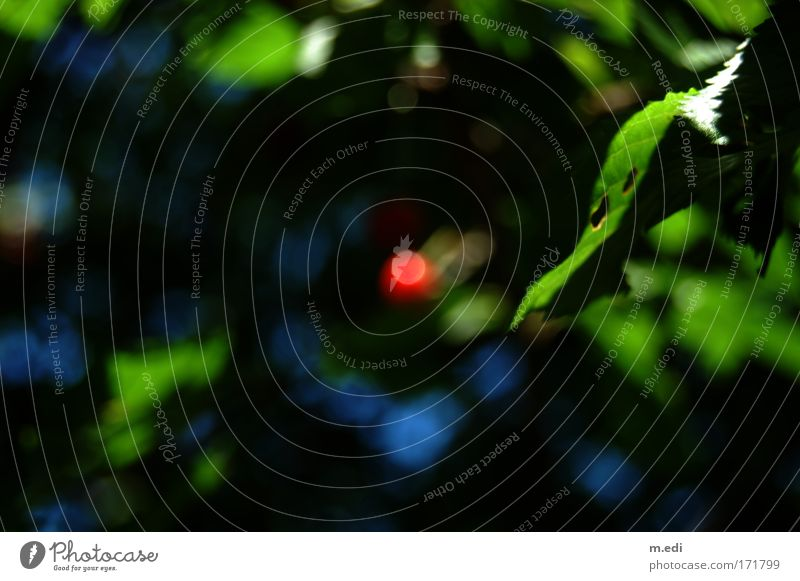 the red dot Colour photo Blur Cherry Environment Nature Tree Bushes Cherry tree Dark Blue Green Red Contentment