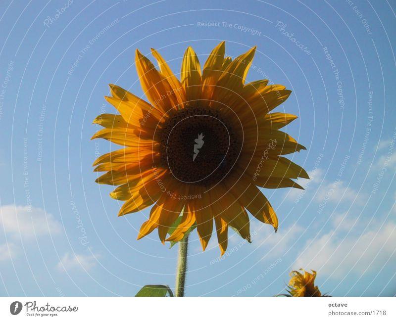 Sun Summer Joie de vivre (Vitality) Sunflower Flower