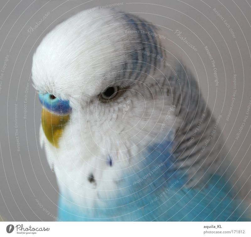 dodo Colour photo Interior shot Deserted Looking Animal Pet Wild animal Bird Uniqueness Budgerigar Cute Blue White Blue-white Eyes Beak Feather Small Loud