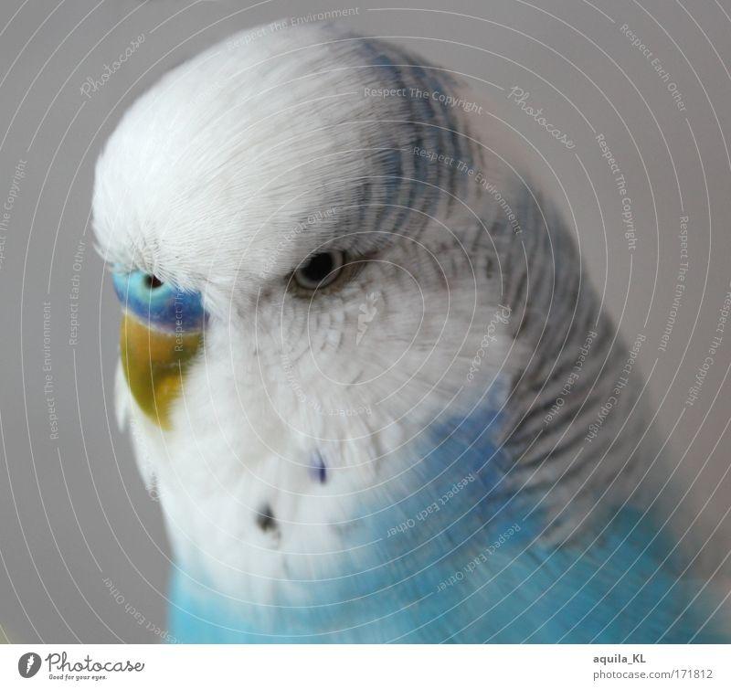 White Blue Eyes Animal Bird Small Feather Uniqueness Wild animal Cute Pet Beak Loud Parrots Blue-white Budgerigar