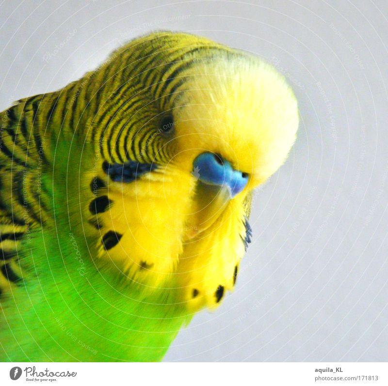 Friedolin ..............VS Colour photo Interior shot Deserted Looking into the camera Animal Pet Wild animal Bird Uniqueness Cute Budgerigar Australia Feather