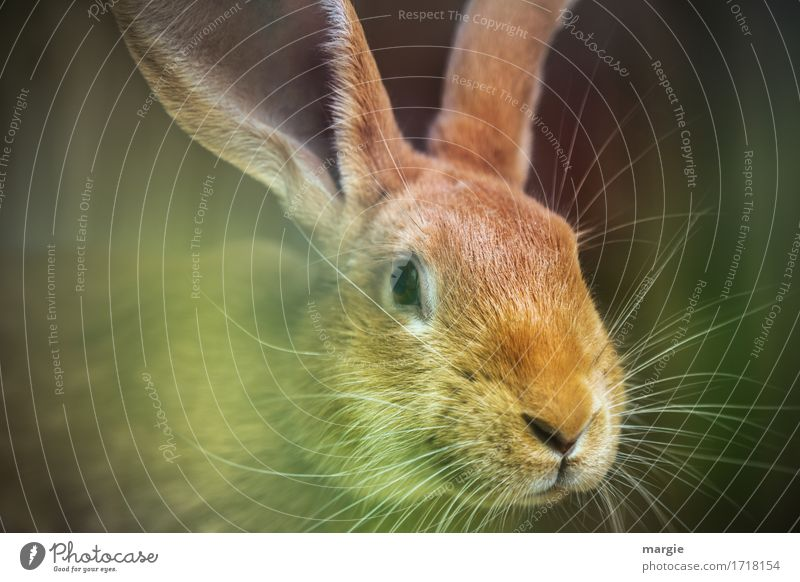 (Easter) Rabbit Nutrition Organic produce Animal Pet Farm animal Animal face 1 Brown Green Hare & Rabbit & Bunny Roasted hare Hare ears Whisker Easter Bunny
