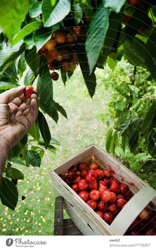 No hard work, no cherry pie Hand Fingers Environment Nature Climate Beautiful weather Tree Cherry tree Bast Basket Above Sweet Anticipation Determination