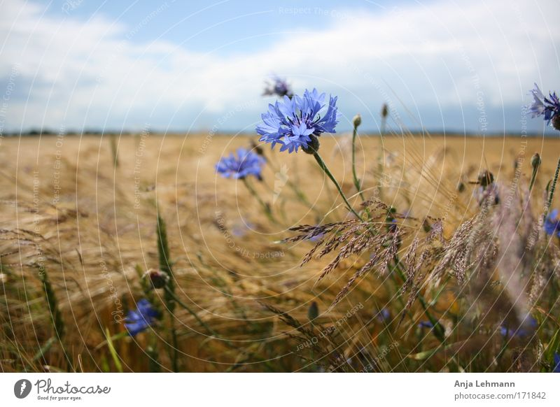 Cornflower with field Colour photo Exterior shot Day Central perspective Landscape Sky Summer Beautiful weather Plant Flower Blossom Agricultural crop Wheat