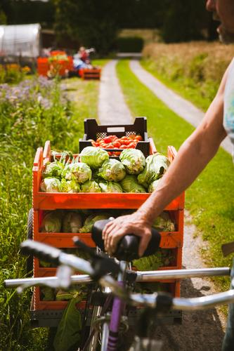 Rich harvest Food Vegetable Cabbage Nutrition Organic produce Vegetarian diet Athletic Fitness Leisure and hobbies Gardening Cycling Human being Masculine Man