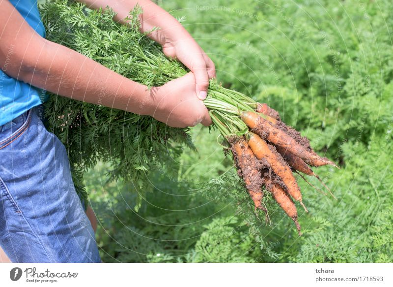 Carrots Vegetable Vegetarian diet Garden Gardening Human being Hand Nature Plant Leaf Dirty Fresh Natural Hold bunch Organic food healthy orange Agriculture