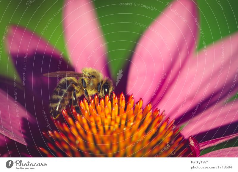 bee Plant Blossom Rudbeckia Purple cone flower Animal Farm animal Bee 1 Work and employment To feed Yellow Violet Orange Diligent Endurance Sustainability