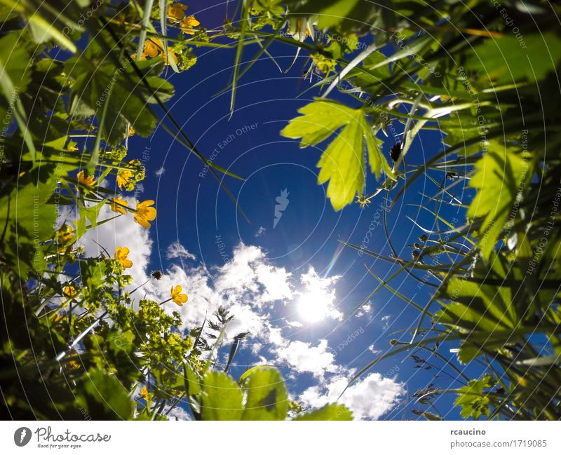 View from ground level of a meadow in a sunny day Summer Sun Environment Nature Landscape Plant Sky Flower Grass Leaf Meadow Growth Fresh Bright Blue Yellow