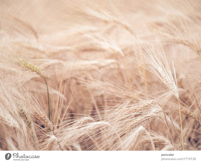 1000 *** be fearless and multiply! Grain Nutrition Nature Summer Many Rye field Rye ear Seed Colour photo Exterior shot Structures and shapes Deserted
