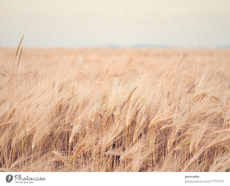 fluffy | rye fur Grain Nutrition Nature Landscape Elements Sky Summer Beautiful weather Agricultural crop Field Cuddly Dry Feminine Soft Horizon Life