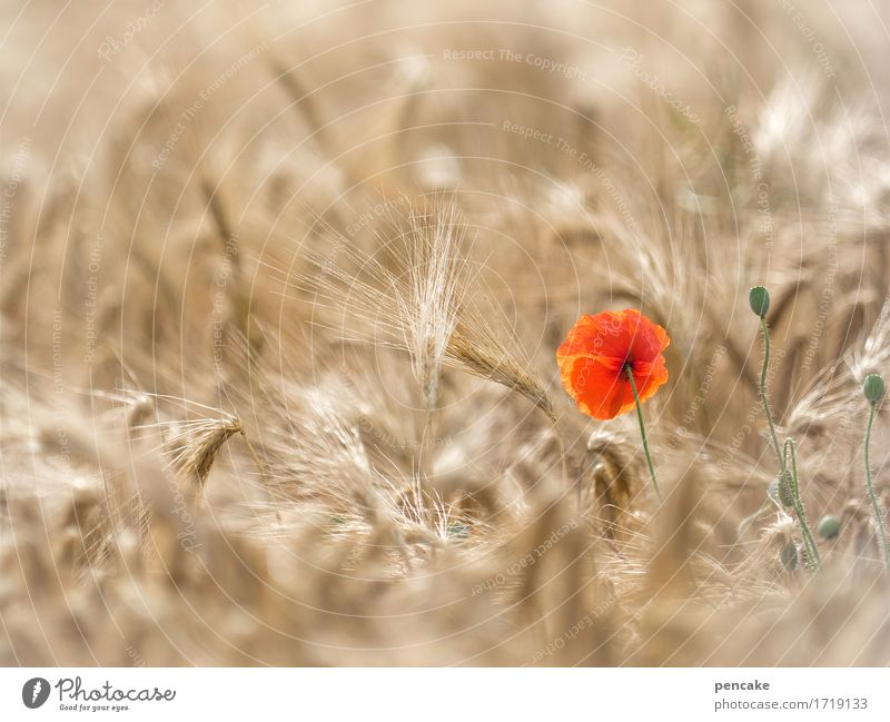 again Mohntag Landscape Plant Summer Beautiful weather Warmth Field Esthetic Life Joie de vivre (Vitality) Sustainability Rye Rye field Grain Poppy blossom