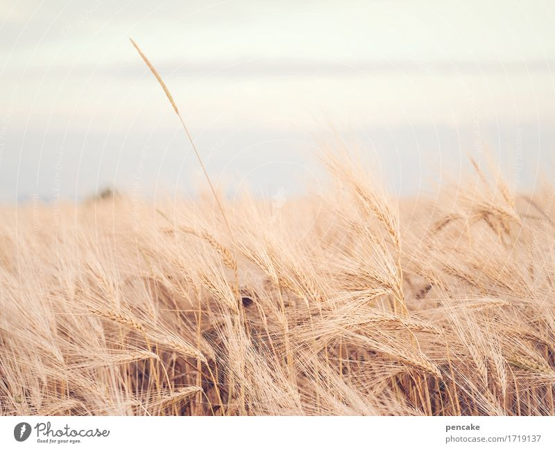 ear field Landscape Elements Sky Summer Plant Field Free Sustainability Dry Esthetic Design Serene Climate Ease Survive Rye ear Rye field Grain Colour photo