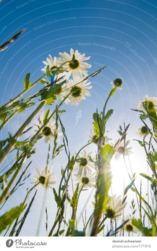 high-format summer meadow Colour photo Copy Space top Light Sunlight Sunbeam Back-light Worm's-eye view Nature Plant Cloudless sky Summer Beautiful weather
