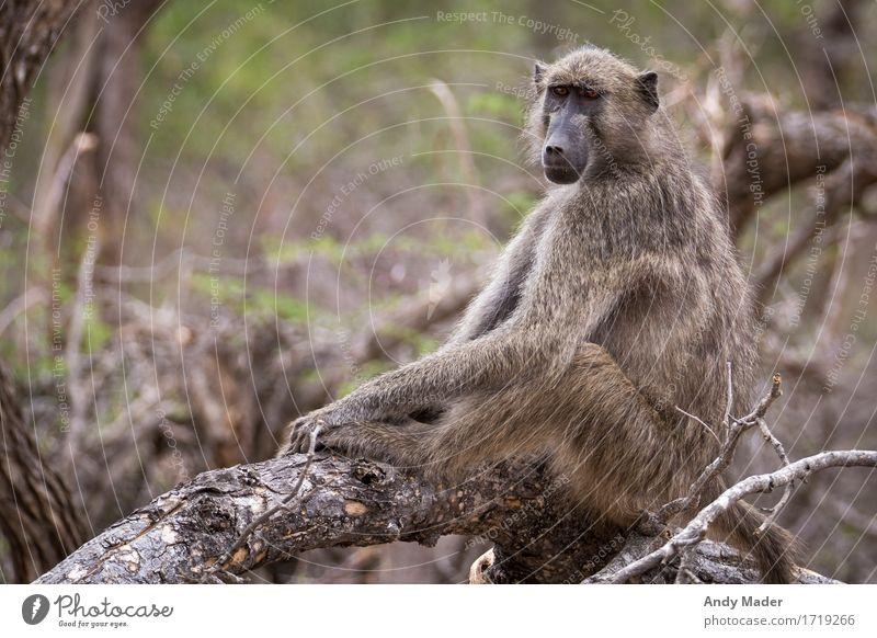 Monkey chilling Wild animal Monkeys monkey 1 Animal Strong Relaxation Colour photo Animal portrait