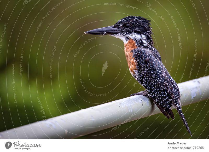 Nature Beautiful White Animal Black Brown Bird Glittering Wild animal Large Exotic Gigantic Kingfisher