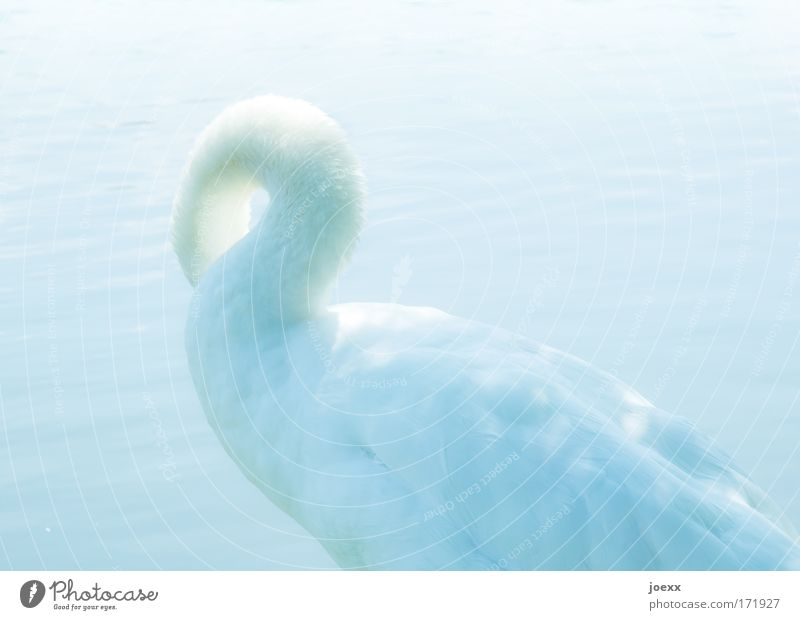 Water Animal Movement Bright Feather Cleaning Swan Bird Swan Lake Swagger