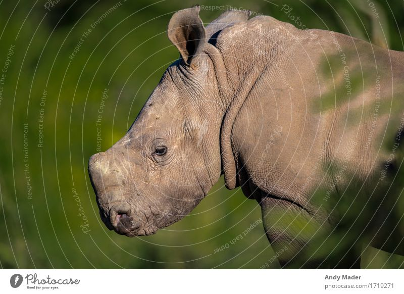 Baby Rhino Portrait Wild animal Rhinoceros 1 Animal Baby animal Exceptional Glittering Small Curiosity Cute Portrait photograph Antlers Colour photo Close-up