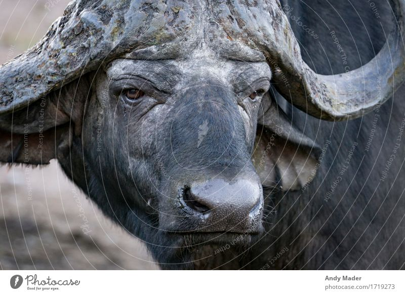 water buffalo Wild animal Water buffalo 1 Animal Aggression Old Dirty Gigantic Strong Black Colour photo Animal portrait Forward