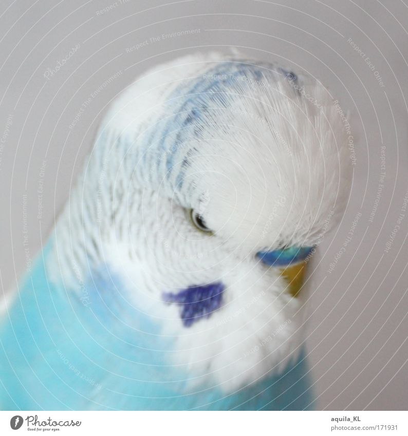 angel Colour photo Deserted Downward Animal Pet Wild animal Bird 1 Bright Beautiful Small Near Crazy Soft Blue White Budgerigar Parrots Parakeet dodo Cute