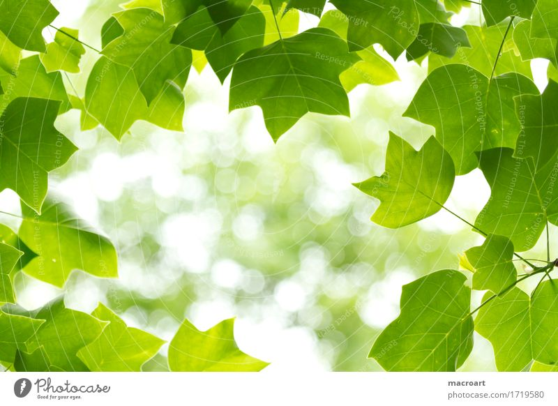 Nature Plant Green Leaf Natural Branch Twig Deciduous tree Verdant Magnolia plants