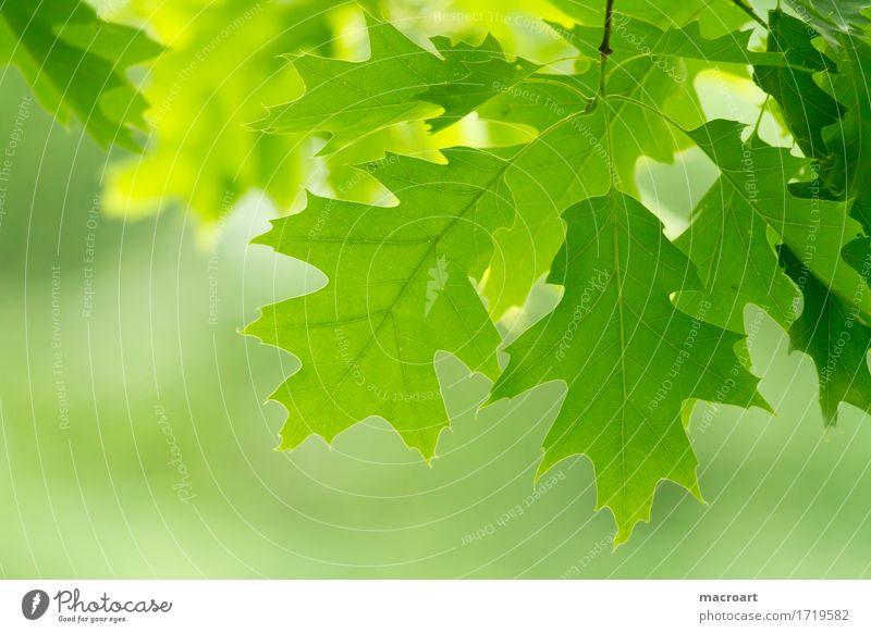 Nature Summer Green Leaf Spring Natural Fresh Branch Twig Oak tree Oak leaf
