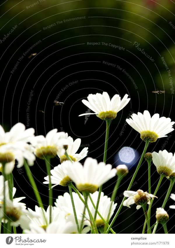 Nature Flower Green Plant Summer Animal Grass Landscape Fly Environment Climate Joie de vivre (Vitality) Natural Blossoming Beautiful weather Marguerite
