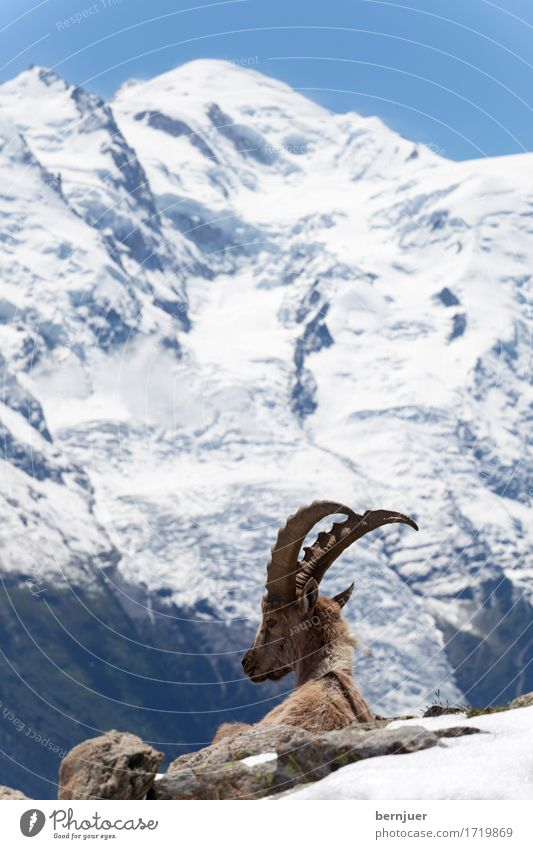 stonebuck Nature Landscape Summer Beautiful weather Mountain Peak Snowcapped peak Glacier Wild animal 1 Animal Sit Cold Blue Brown White Serene Calm Loneliness