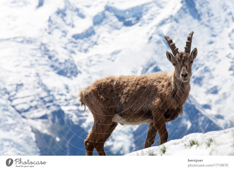 White Animal Mountain Baby animal Snow Brown Ice Power Wild animal Authentic Observe Beautiful weather Alps Snowcapped peak Pelt Antlers