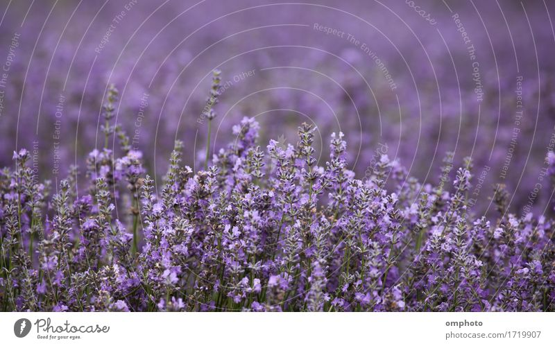 Lavender Blossoms in a Field Medication Fragrance Cure Garden Nature Plant Flower Bouquet Natural Colour field agriculture Crops lavandula bunch Purple Fragrant