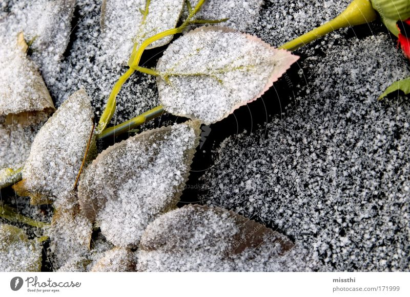 White Breeze Colour photo Exterior shot Deserted Day Ice Frost Snow Plant Rose Leaf Cemetery Artificial flowers Stone Gloomy Black Compassion To console Calm