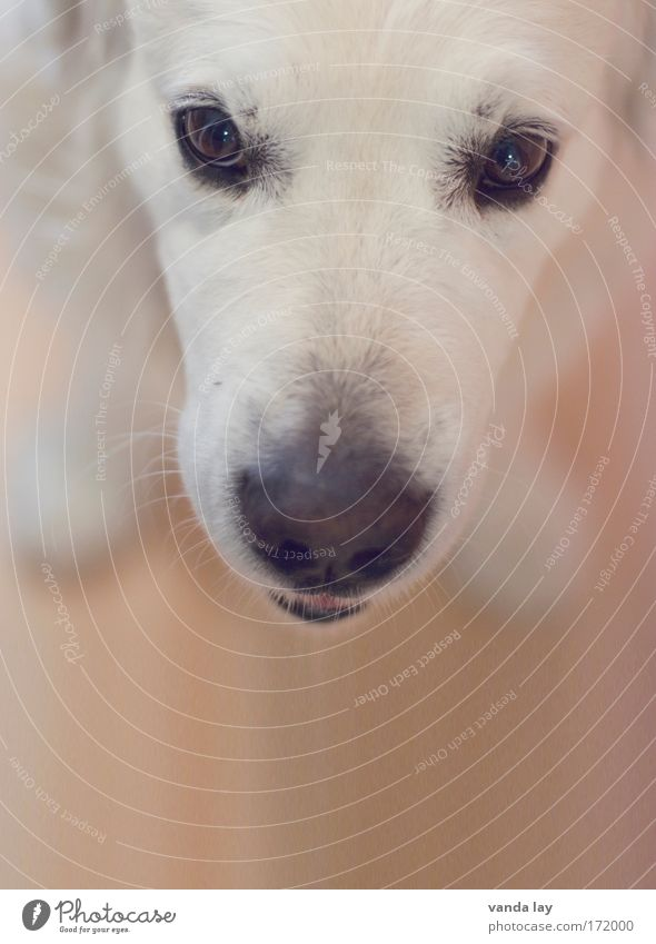 Mr. Maier Colour photo Deserted Copy Space bottom Blur Deep depth of field Animal portrait Looking Looking into the camera Pet Dog 1 Brash Friendliness White