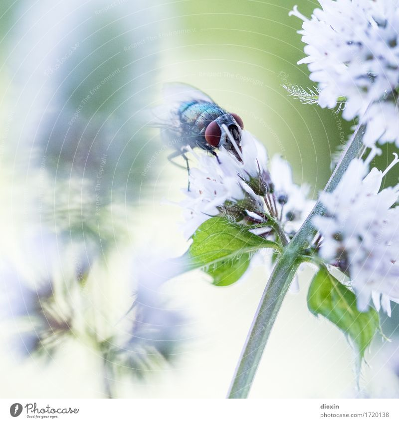 gourmets Environment Nature Plant Animal Leaf Blossom Mint Mint leaf Garden Fly Insect Blowfly 1 Blossoming To feed Natural Fragrance Colour photo Exterior shot