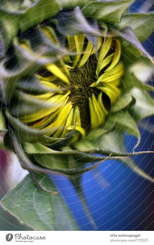 sunflower Plant Flower Foliage plant Dream Esthetic Exotic Near Natural New Original Wild Blue Multicoloured Yellow Green Beautiful Caution Colour Nature