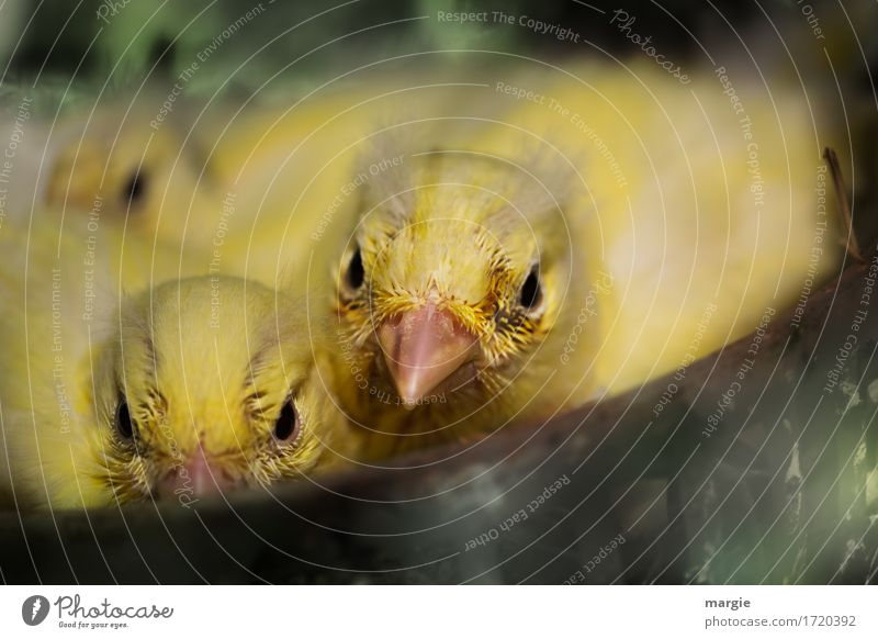 cheeky: young canaries in the nest Animal Bird Animal face 3 Yellow Green Beak Group of animals Baby animal Livestock breeding Canary bird Nest-building