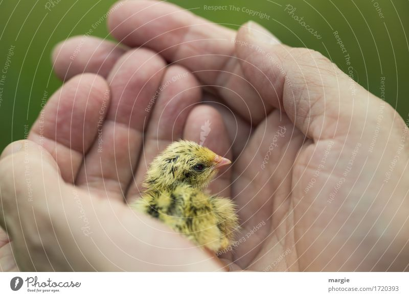 Need protection! Animal Farm animal Animal face Wing 1 Yellow Green Trust Love of animals To console Grateful Curiosity Hope Fear Dangerous Chick Bird Hand