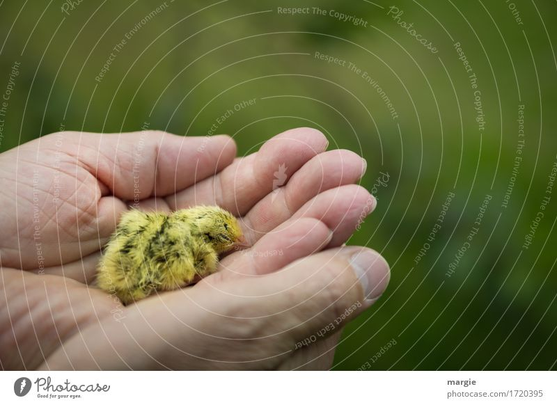 "A handful of ""lives."" Animal Pet Farm animal Wild animal Bird 1 Yellow Green Chick Baby animal Slip Fatigue Sleep Hand Protection Retentive Safety"