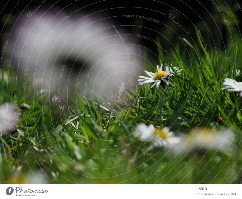 Nature White Green Plant Flower Summer Calm Meadow Grass Happy Spring Park Pure Daisy Grass green