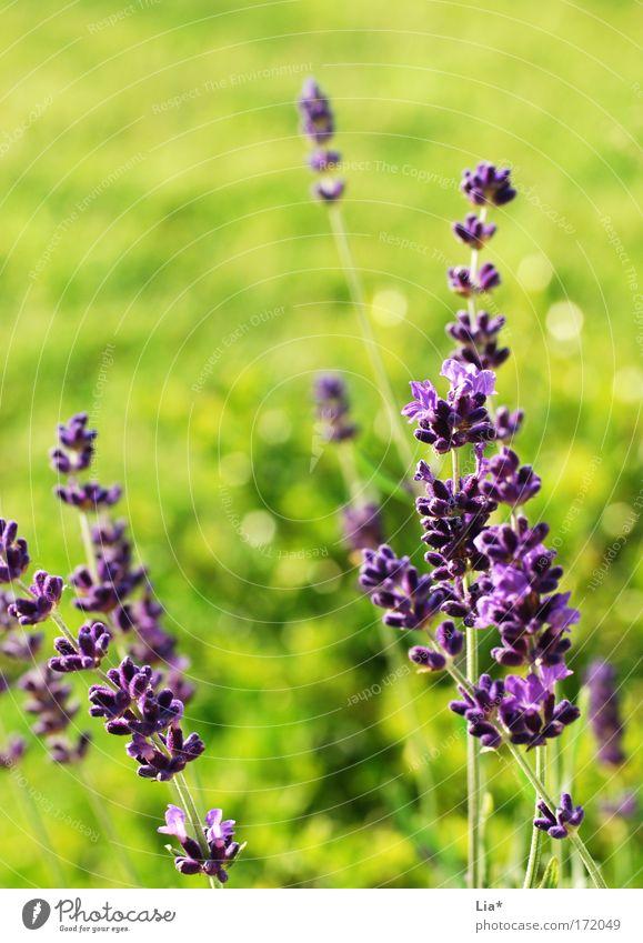 Flower Green Plant Summer Meadow Spring Bright Glittering Violet Joie de vivre (Vitality) Fragrance Beautiful weather Ease Lavender Medicinal plant