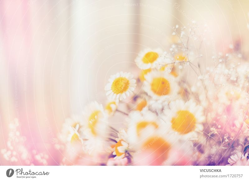 Marguerites Flowers Lifestyle Design Summer Living or residing Decoration Nature Plant Sunlight Beautiful weather Leaf Blossom Blossoming Pink Pastel tone Blur