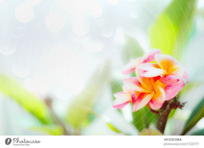 Frangipani flowers on nature background Design Spa Summer Nature Plant Spring Flower Leaf Blossom Garden Park Yellow Pink Fragrance Style Thailand Tropical