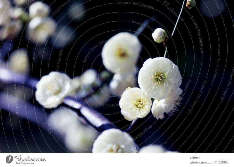 White snow Nature Tree Flower Joy Life Cold Spring Happy Art Free Fire Cool (slang) Soft Moon