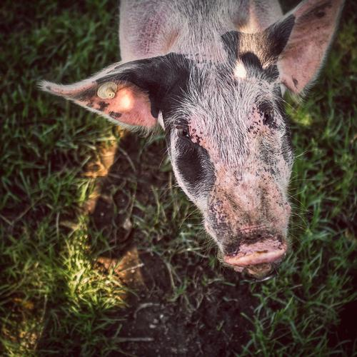 Animal Meadow Healthy Authentic Communicate Farm Pet Sustainability Animal face Smart Piercing Swine Dappled Cattle Pasture Swabian Nose ring