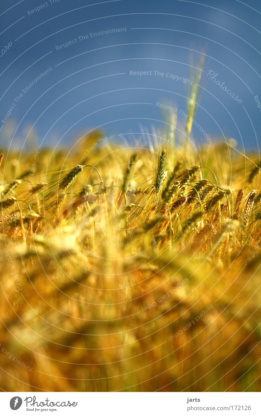 gold Colour photo Exterior shot Detail Deserted Day Sunlight Deep depth of field Central perspective Grain Environment Nature Sky Summer Agricultural crop Field