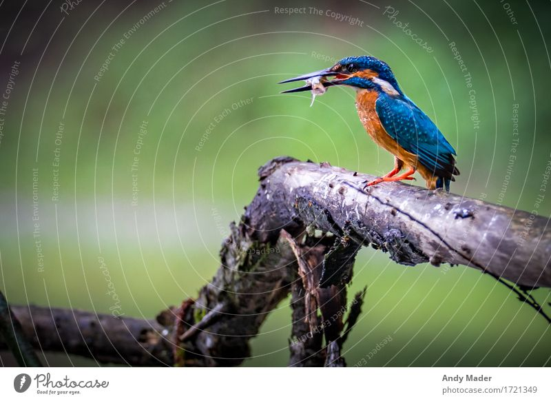 Kingfisher hunting Nature Animal Wild animal Bird 1 Catch To feed Feeding Exotic Glittering Blue Brown Multicoloured Voracious Elegant variegated colored Fish