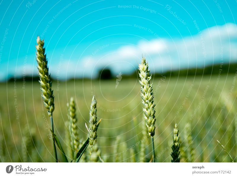 Fields Grassland Meadow Hayfield Landscape Agriculture Rye Wheat Cereal Sky grain acre Freedom Summer Environment Ecological eco Breeder Plant farm food