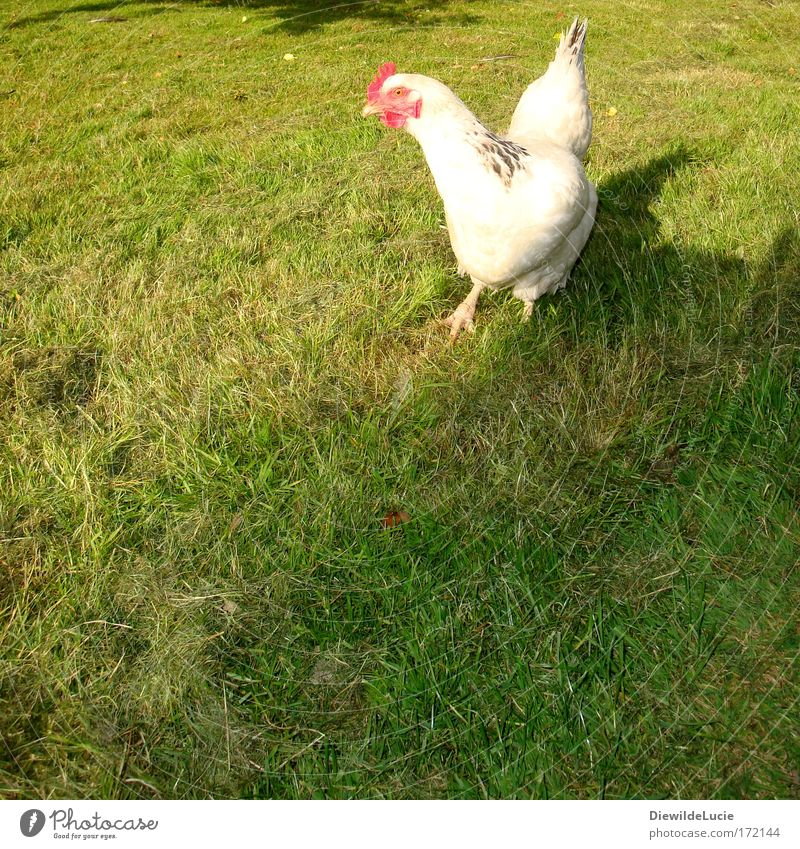 Green Summer Meadow Funny Walking Feather Wing Cute Observe Joie de vivre (Vitality) Delicious Organic produce Fear of the future Self-confident Barn fowl Farm animal