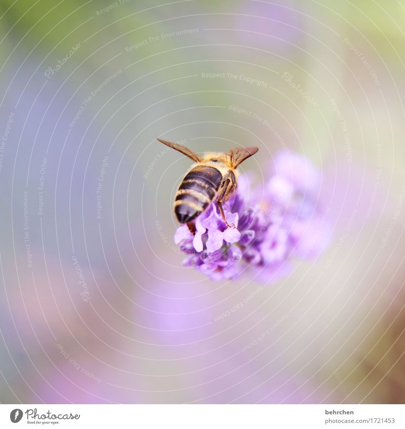Bra...Bee behind:) Nature Plant Animal Summer Beautiful weather Flower Leaf Blossom Lavender Garden Park Meadow Wild animal Wing Hind quarters 1 Observe