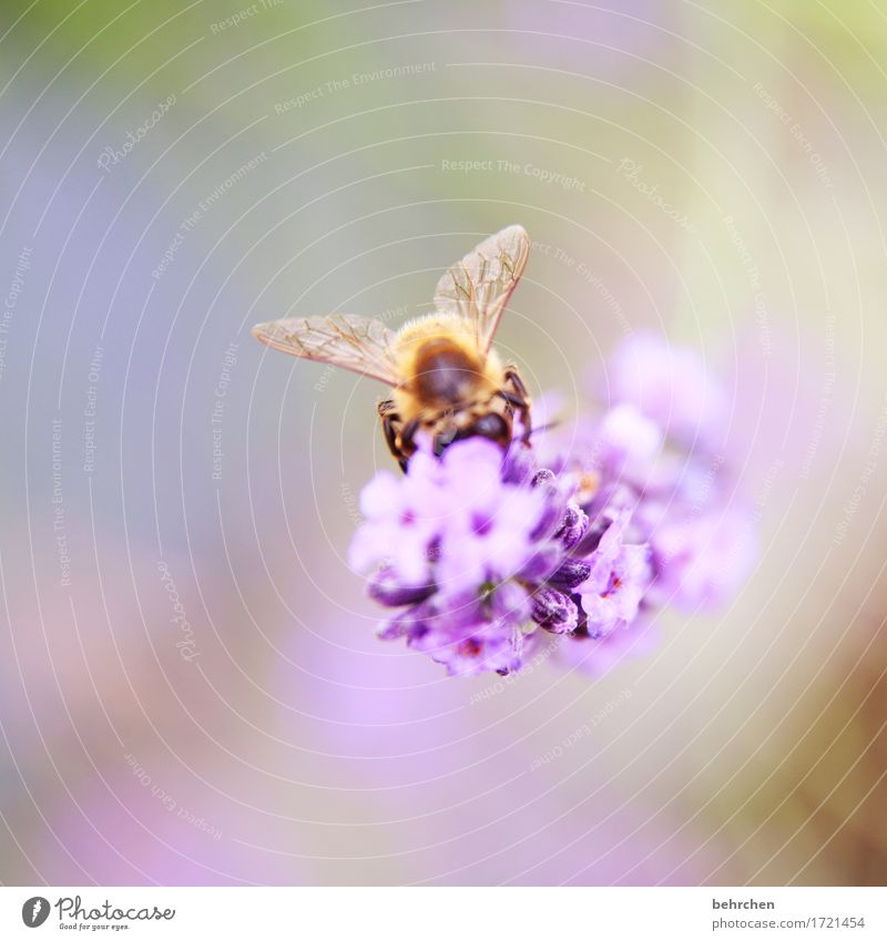 winged Nature Plant Animal Beautiful weather Flower Leaf Blossom Lavender Garden Park Meadow Wild animal Bee Animal face Wing 1 Observe Blossoming Fragrance